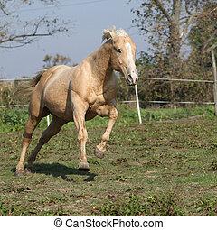Angry palomino horse attacking - Angry palomino horse...
