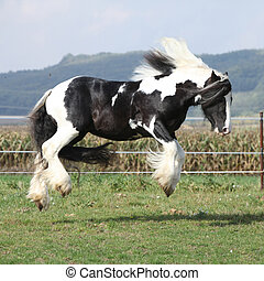 Gorgeous irish cob with long mane jumping on pasturage