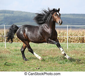 Nice brown stallion with long mane running on pasturage