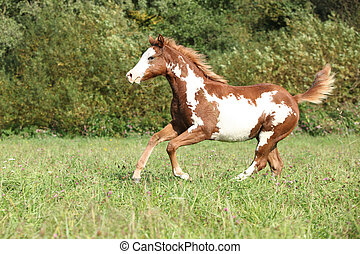 Nice paint horse foal running in autumn - Nice paint horse...