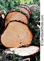 felled and sawn pine tree in the forest - felled pine tree...