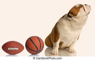 dog not wanting to play - spoiled english bulldog turning...