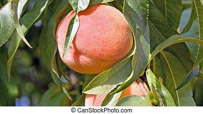 Peach on a peach tree in Burford, Ontario, Canada.