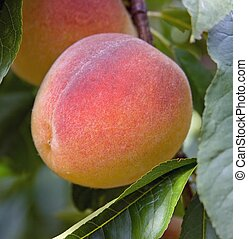 Peach on a peach tree in Burford, Ontario, Canada