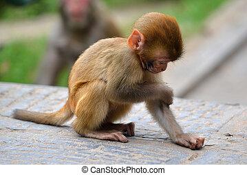 Macaque monkey. Nepal - Monkey, Rhesus macaque (Macaca...