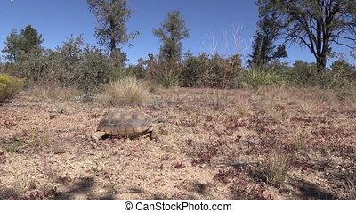 Desert Tortoise - a desert tortoise moves slowly