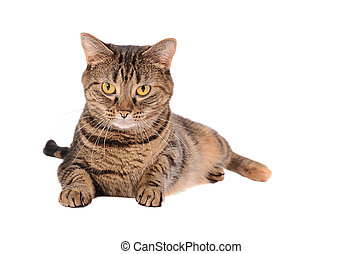 A Grumpy Looking Tabby Cat Laying on a White Background