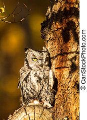 Western Screech Owl - Tiny Screech Owl sitting in tree in...