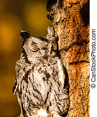 Western Screech Owl perched in tree in early morning...