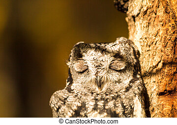 Western Screech Owl perched in tree with eyes closed sitting...