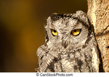 Western Screech Owl - Close up of eyes of small Western...