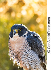 Peregrine Falcon sitting on rock with autumn colors in...