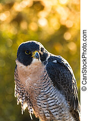 Peregrine Falcon sitting on rock backlit with morning sun