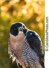 Peregrine Falcon sitting on tree branch backlit with morning...