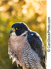 Peregrine Falcon sitting on tree branch with fall colors in...