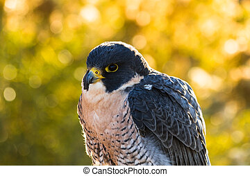 Peregrine Falcon sitting on rock with fall colors in...