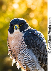 Peregrine Falcon sitting on rock