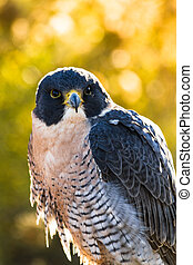 Peregrine Falcon sitting on rock in early morning sun