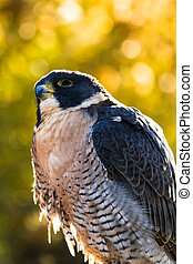 Peregrine Falcon sitting on rock looking up