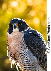Peregrine Falcon perched in tree with fall colors in...