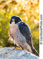 Peregrine Falcon perched on rock in early morning light