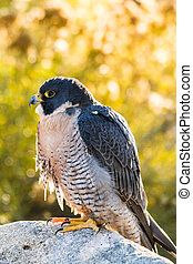 Peregrine Falcon perched on rock with fall colors in...