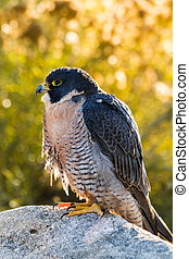 Peregrine Falcon perched on rock with autumn colors in...