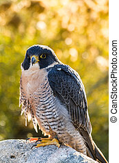 Peregrine Falcon perched on rock in early morning sun
