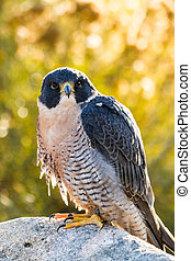 Peregrine Falcon sitting on rock in early morning sun with...