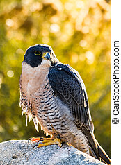 Peregrine Falcon - Side view of Peregrine Falcon sitting on...