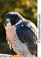 Peregrine Falcon - Close up of Peregrine Falcon in early...