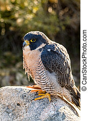 Peregrine Falcon sitting on rock in early morning sunlight