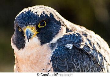 Peregrine Falcon - Close up of head of Peregrine Falcon in...
