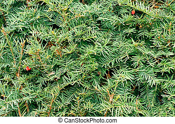 Yew Taxus baccata green leaves and red fruit background