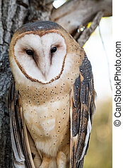 Barn Owl - Common Barn Owl perched in tree