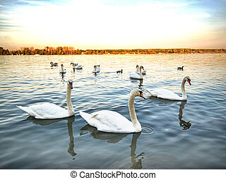 flock of swans in the blue lake
