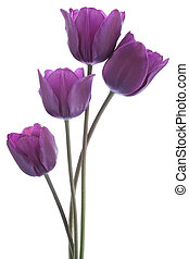tulip - Studio Shot of Purple Colored Tulip Flowers Isolated...