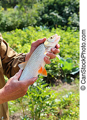 chub in the hand of fisherman over green background - chub...