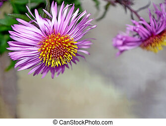 Background. Chrysanthemums. Photo.