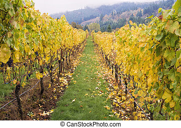 Rows of Grape Vines in Vineyard - Rows of Grape Vines in...