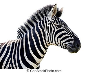 Zebra Portrait - Isolated - Beautiful Zebra portrait with...