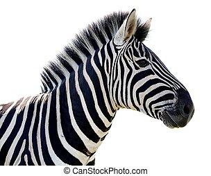 Zebra Portrait - Isolated - Beautiful Zebra portrait with...