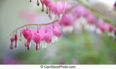 bleeding heart flowers - heart-shaped flowers on an overcast...