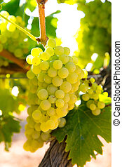 chardonnay Wine grapes in vineyard raw ready for harvest in...