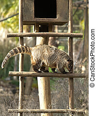 Ring-tailed Coati - Coatis use to be diurnal animals, and...