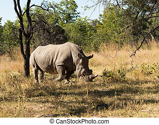 Large rhino grazing the grass in Zimbabwe - Single large...