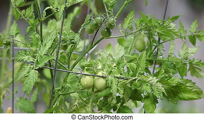 growing cherry tomatoes - green cherry tomatoes growing in a...