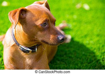 mini, gramado, Marrom, deitando, cão, Retrato,  pinscher