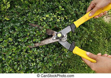 trimming bushes with garden scissors - someone trimming...
