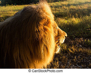Old male lion in the grass in Southern Africa - Close up of...